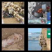 4 Pics 1 Word 8 Letters Answers Barnacle