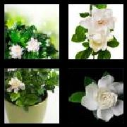 4 Pics 1 Word 8 Letters Answers Gardenia