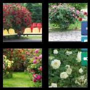 4 Pics 1 Word 8 Letters Answers Rosebush